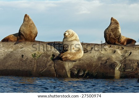 Three wild male Steller Sea Lions hauled out on the rocks.   Photographed in the Southern Gulf Islands of British Columbia, Canada. - stock photo