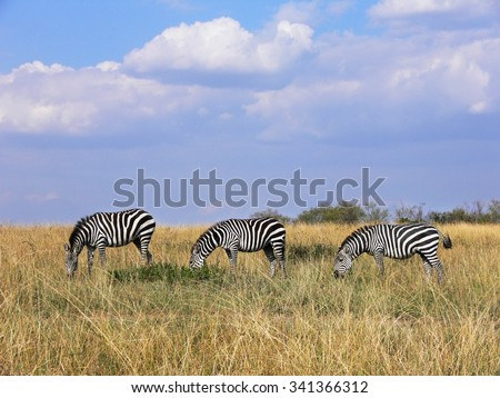 three wild plains zebras grazing in line in Masai Mara grassland - stock photo