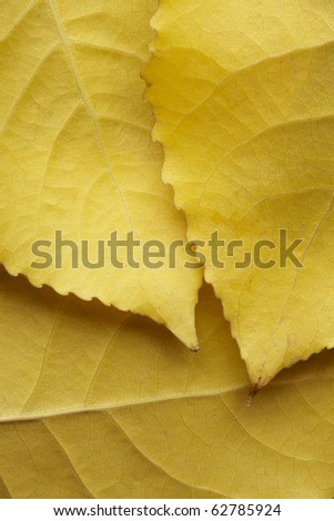 Three yellow autumnal birch leaves - stock photo