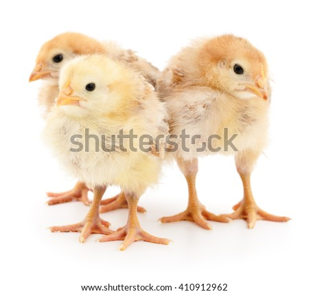 Three yellow chickens isolated on white background. - stock photo