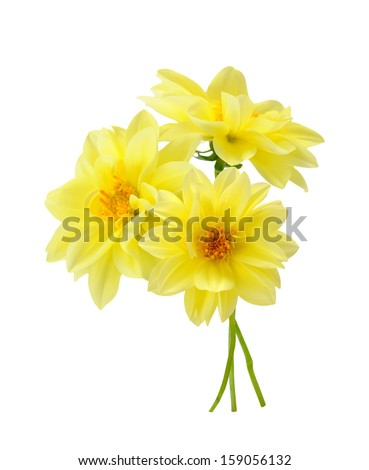 Three yellow chrysanthemum dahlia isolated on white  - stock photo