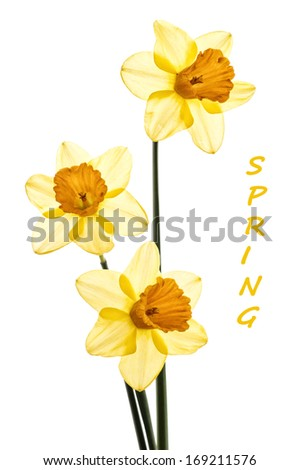 Three Yellow Daffodils Translucent with Bypass Treatment on isolated on white background.  Easy to add more space or room for copy, text, or your words. - stock photo