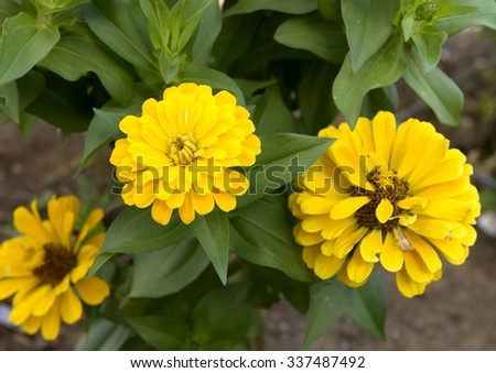 Three Yellow Flowers - Close Up