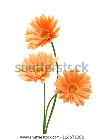 Three yellow Gerber flowers, daisies isolated on white - stock photo