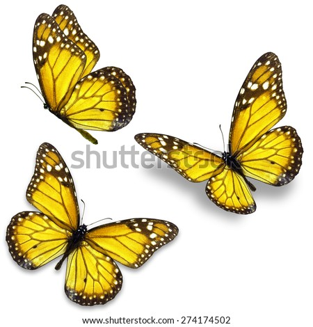 Three yellow monarch butterfly isolated on white background