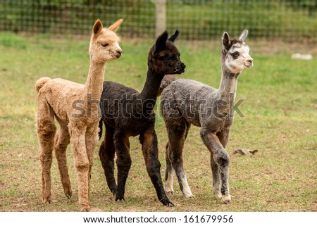 Three young alpacas all different colors - stock photo