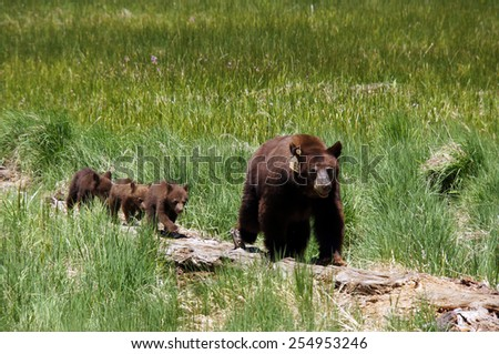 Three young bears with her mother in Sequoia National Park, California, USA - stock photo