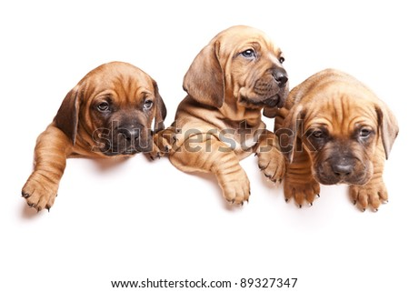 Three young, beautiful dogs send a message! - stock photo