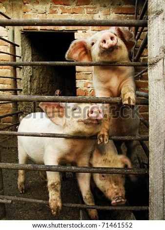 Three young cute pigs behind metal fence and shed