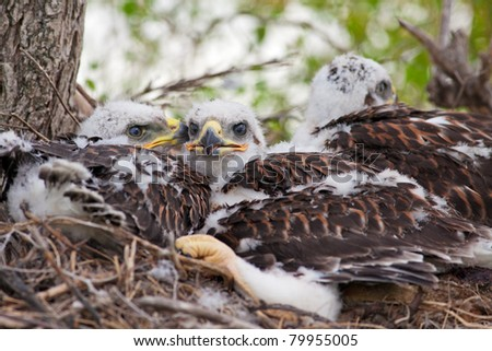 Three young, Ferruginous Hawk chicks overflowing out of their nest but not big enough to fly yet.  See these same chicks in different stages of growth in my portfolio. - stock photo
