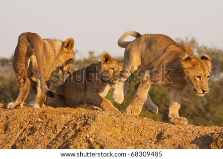 Three young lion cubs, part of a pride or family unit, playing together on a game preserve. Lions (panthera leo) are a member of the family Felidae and typically inhabit savanna and grassland. - stock photo