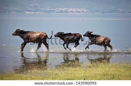 Three young running water buffaloes at lake Kerkini in North Greece