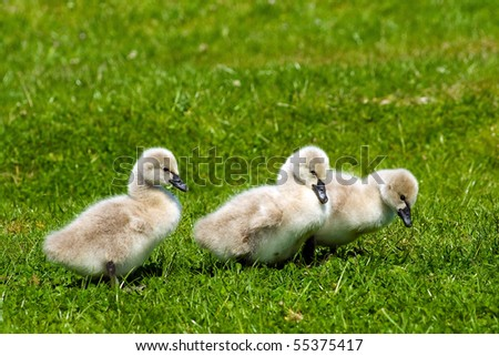 Three young swans in the green grass - stock photo
