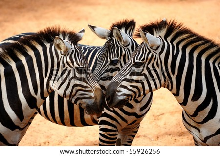 Three Zebras - stock photo