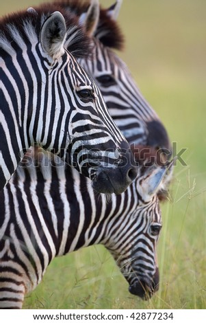 Three zebras in savannah in nature reserve in South Africa