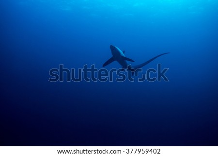 Thresher shark viewed from below with surface detail. Monad Shoal, Philippines. November - stock photo
