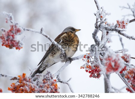 Thrush siting on a rowan tree in winter