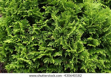 Thuja (arbor vitae). Natural green background. - stock photo