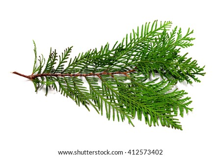 Thuja branch isolated on white background - stock photo