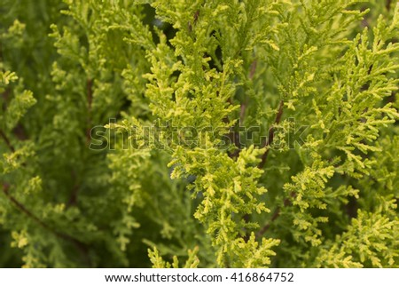 Thuja Green wheat plants natural background  close-up