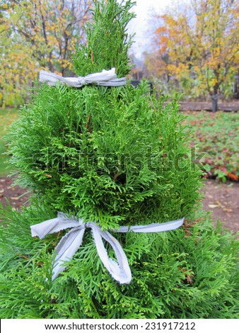 Thuja tied with a string to prevent its damage by snow in the autumn garden - stock photo
