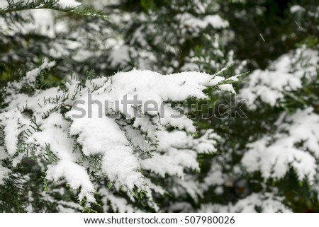 Thuja trees, covered by snow