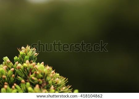Thuja. White spruce. Green background. Nature.  - stock photo