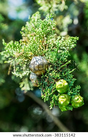 thuja with cones in sunny day - stock photo