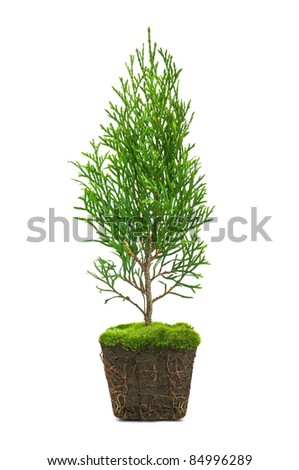 thuja with dirt isolated on white - stock photo