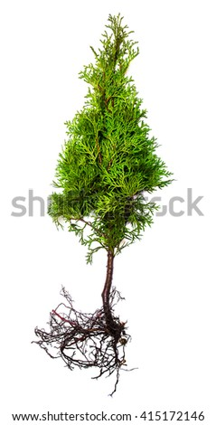 Thuja with root isolated on white background - stock photo