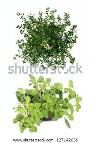 Thyme and Marjoram isolated on white. top view - stock photo