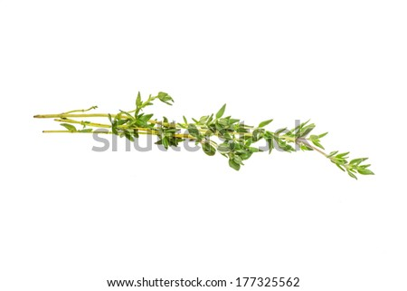 Thyme branch - stock photo