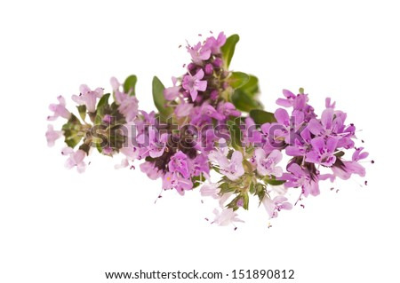 Thyme flowers,aromatic herb in bloom - stock photo