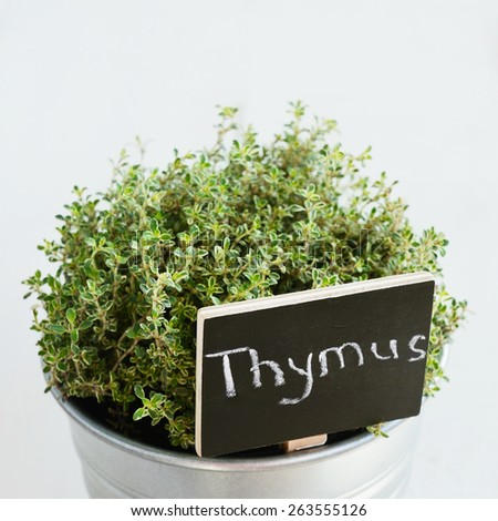 Thyme herb in a planter with chalkboard with its name in Latin, square close up  - stock photo