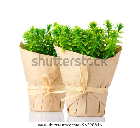 thyme herb plants in pots with beautiful paper decor isolated on white - stock photo