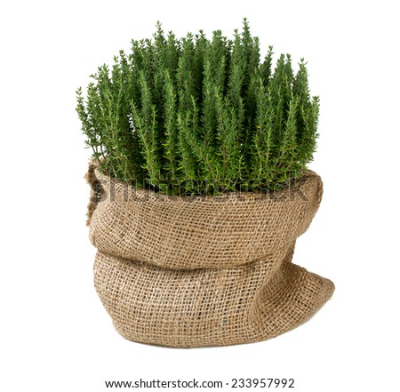 thyme in a pot - stock photo