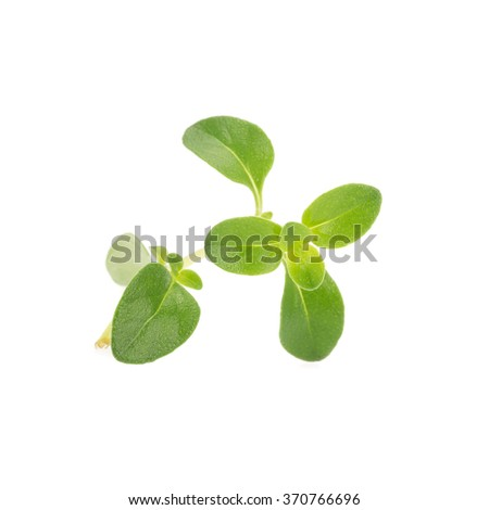 thyme plant on white background.