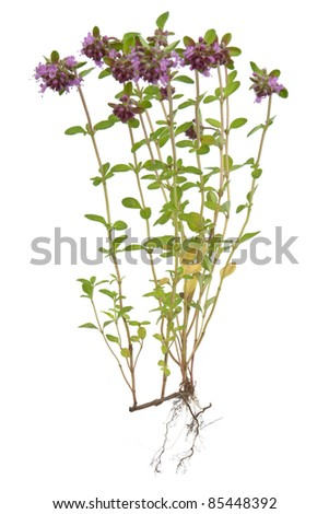 Thyme ( Thymus ) ,on white background. - stock photo