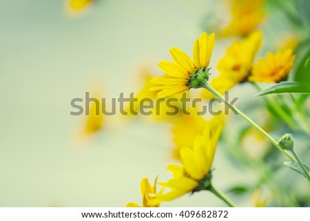 Thymophyllia,yellow flowers, natural summer background, blurred image, selective focus - stock photo