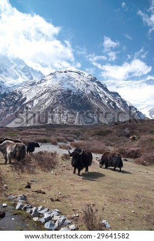 Tibetan landscape with yaks and snow-covered mountains. - stock photo