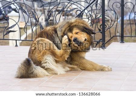 Tibetan Mastiff Dog Scratching Flea - stock photo