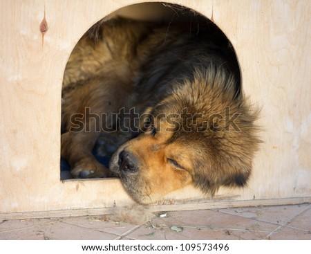 Tibetan Mastiff Dog sleeps in a kennel - stock photo