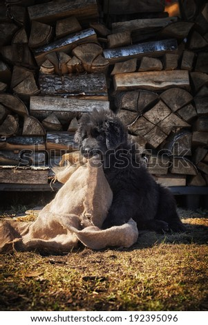 Tibetan mastiff puppy - stock photo