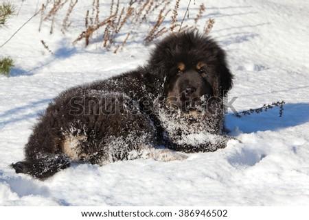 Tibetan Mastiff puppy lying in the snow - stock photo