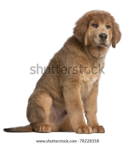 Tibetan Mastiff puppy, 3 months old, sitting in front of white background - stock photo