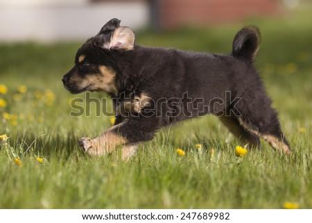 Tibetan mastiff puppy runs on grass - stock photo