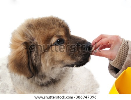 Tibetan Mastiff puppy takes food from the hand of the master