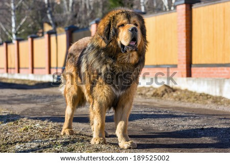 Tibetan Mastiff stands on a dirt road on a sunny day