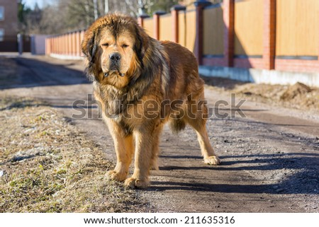 Tibetan Mastiff stands on a dirt road on a sunny day - stock photo