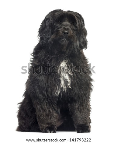 Tibetan Terrier sitting, 8 months old, isolated on white